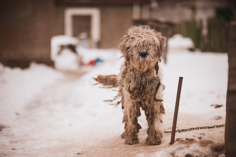 Perro viejo encadenado lanudo que parece triste imagenes de archivo