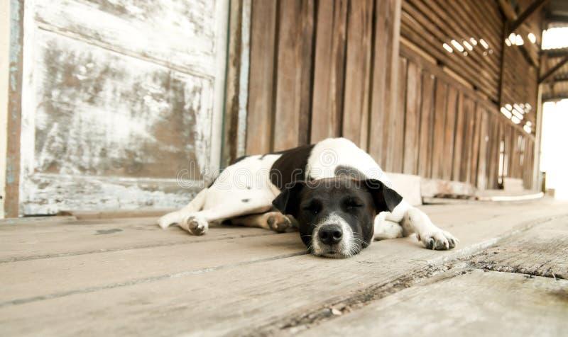 Perro viejo soñoliento fotos de archivo