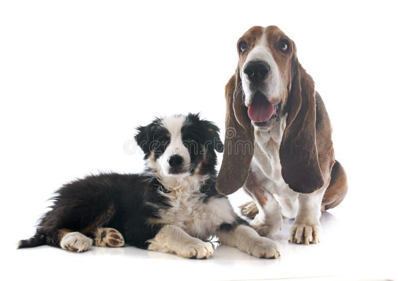Perro y border collie de afloramiento fotos de archivo libres de regalías