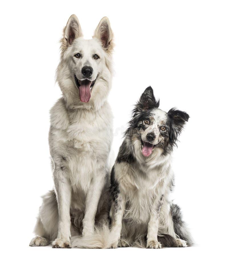 Perro y border collie suizos de pastor imágenes de archivo libres de regalías