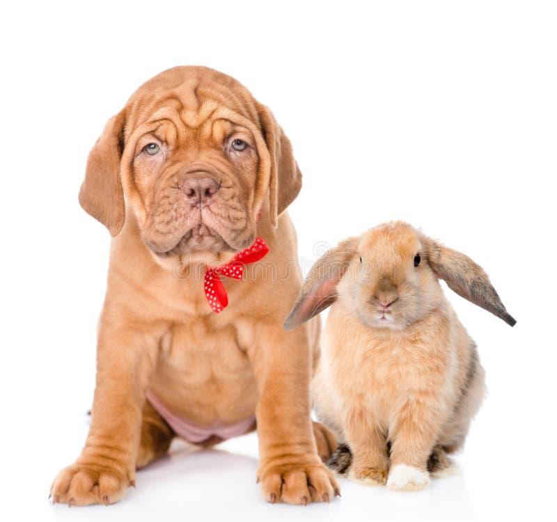 Perro y conejo que se sientan junto Aislado en el fondo blanco imágenes de archivo libres de regalías