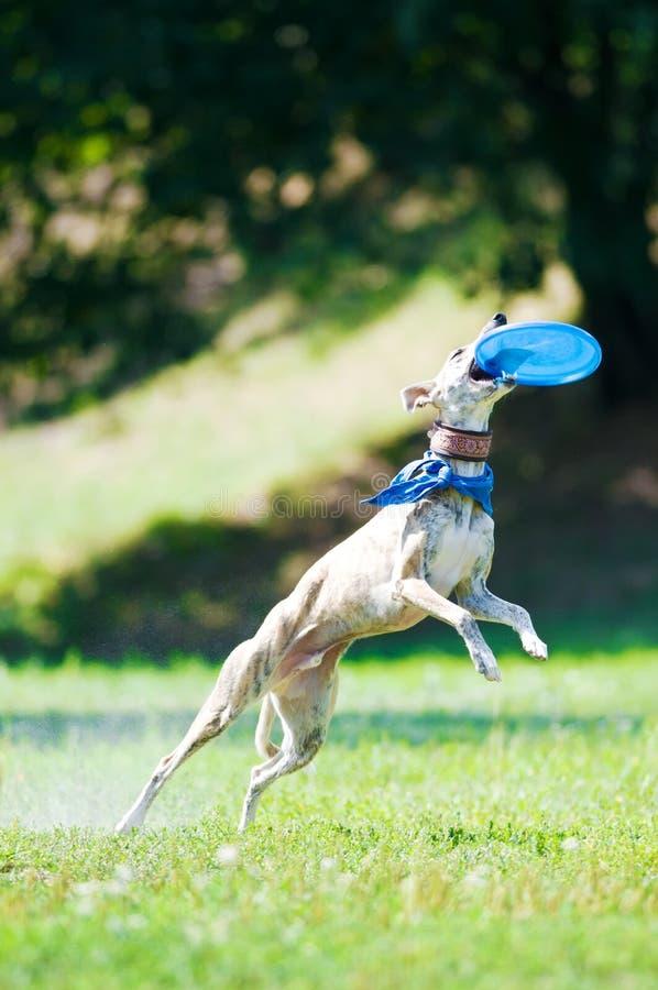 Perro y disco volador de Whippet imagen de archivo