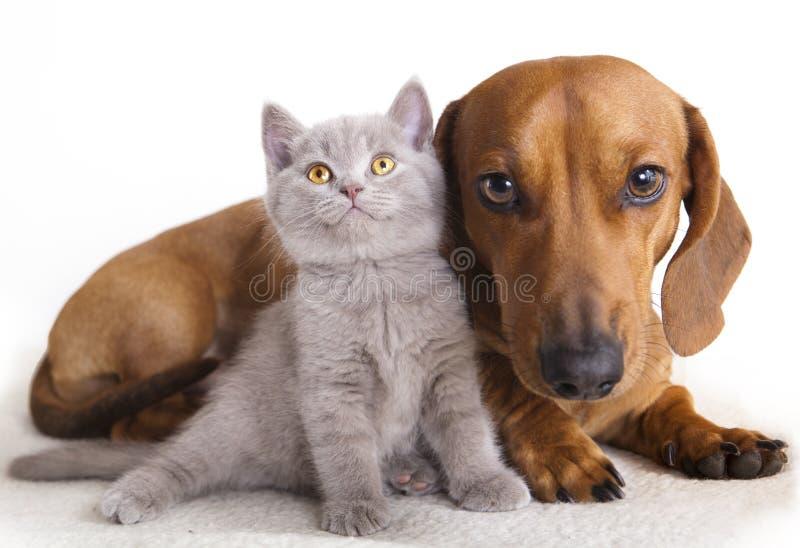 Perro y gatito del Dachshund imagen de archivo