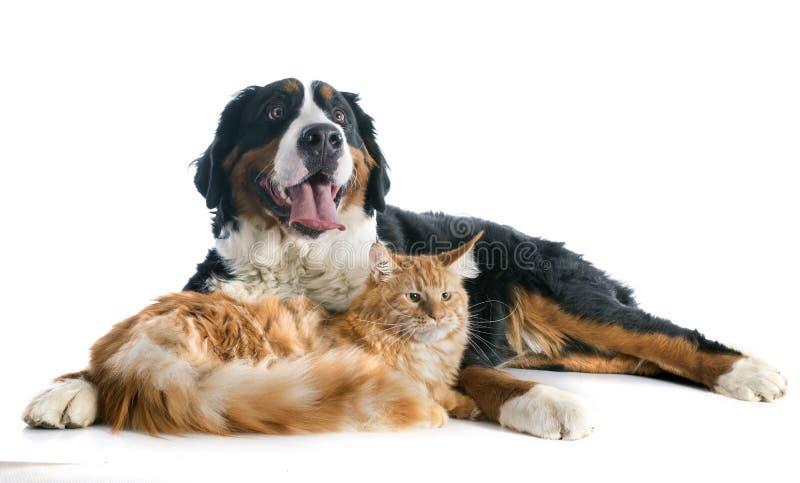Perro y gato del moutain de Bernese imágenes de archivo libres de regalías