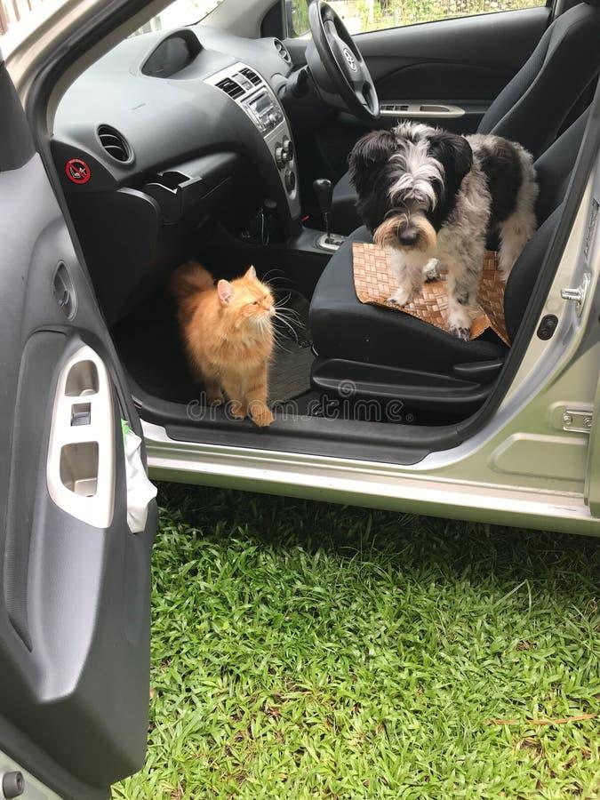 Perro y gato dentro del coche imagen de archivo