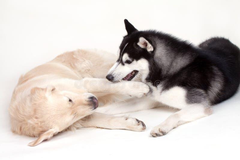 Perro y Labrador del husky siberiano fotografía de archivo libre de regalías