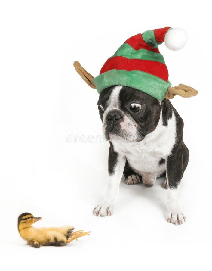 Perro y pato fotografía de archivo
