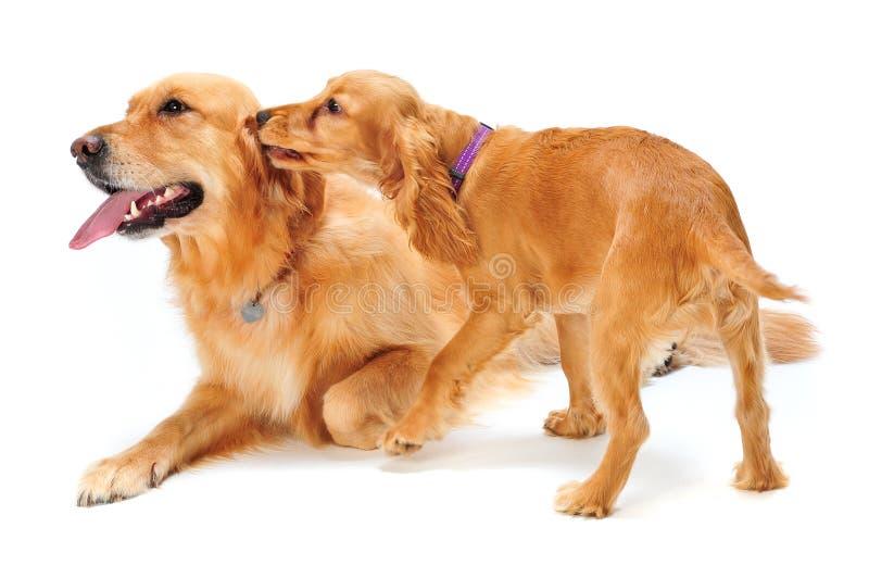 Perro Y Perrito Imagen de archivo libre de regalías