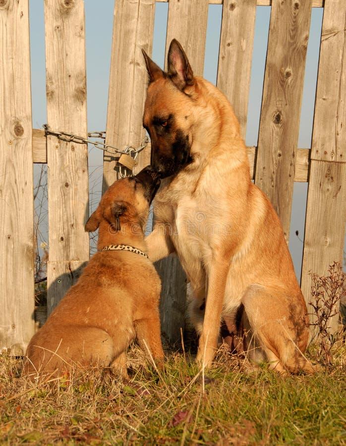 Perro y perrito femeninos foto de archivo