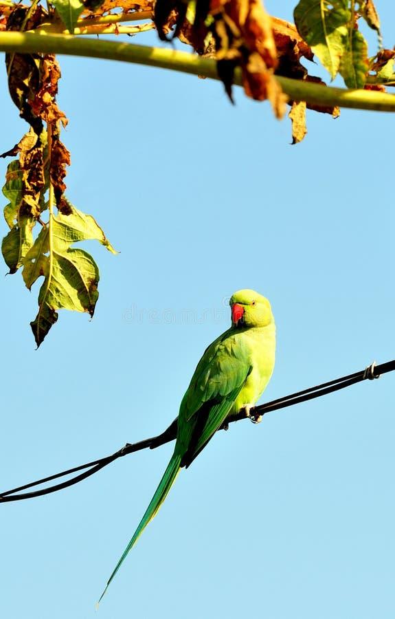 perroquet photo libre de droits