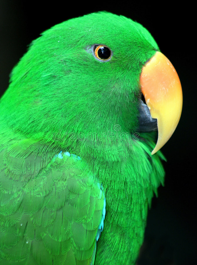 Perroquet photo stock