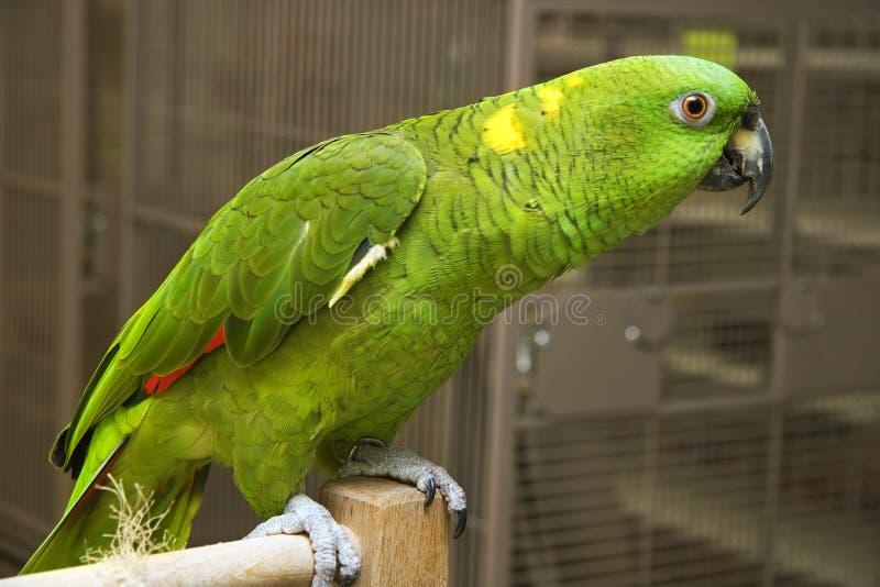 Perroquet d'Amazone photos libres de droits