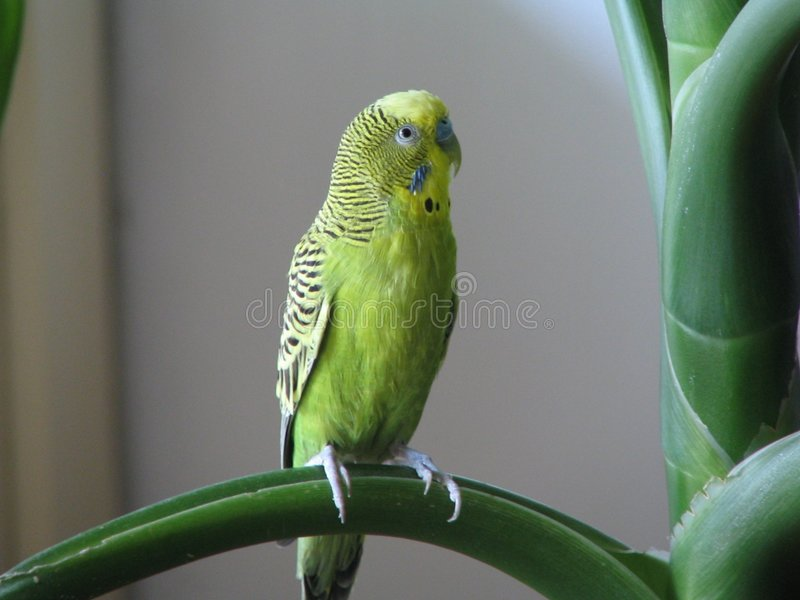Download Perroquet australien photo stock. Image du vert, nature - 90884