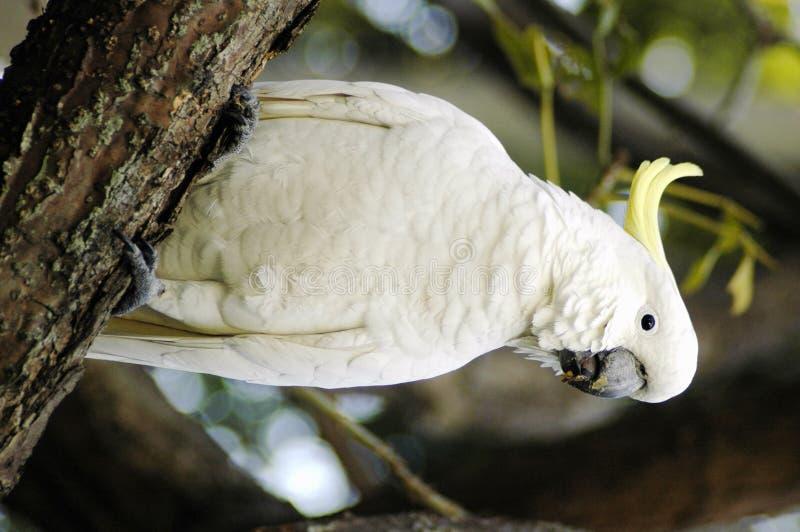 Perroquet blanc photo stock