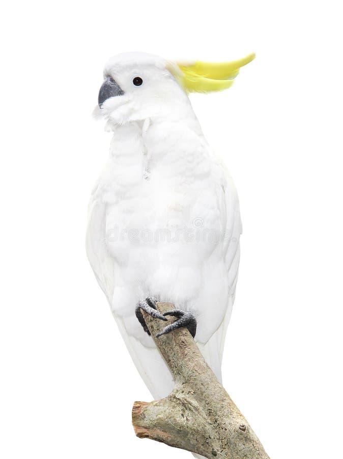 Perroquet blanc se reposant sur une branche d'isolement sur le fond blanc photographie stock libre de droits