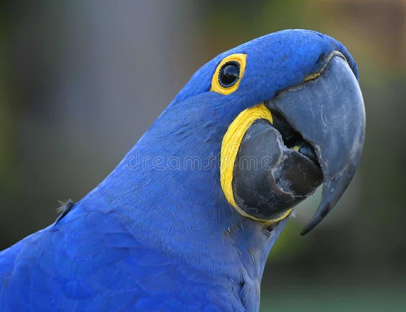 Perroquet bleu photographie stock