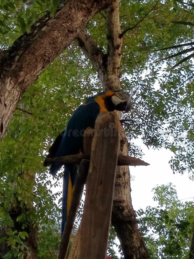 Perroquet bleu photo libre de droits