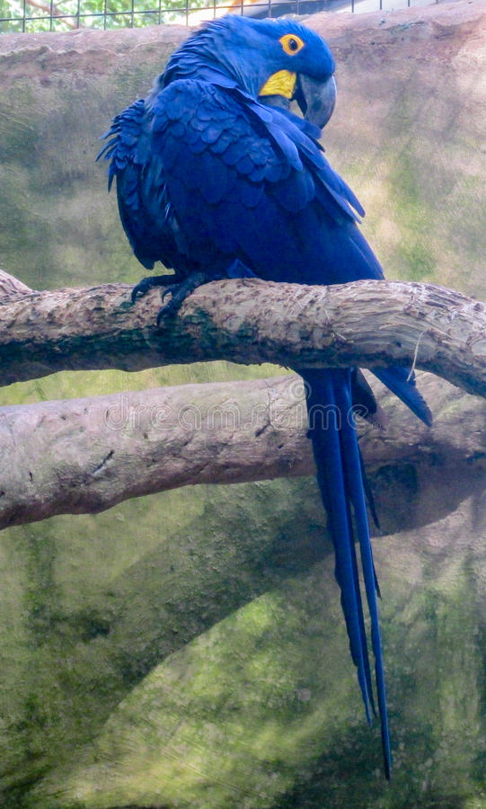 Perroquet bleu de Macaw photo libre de droits