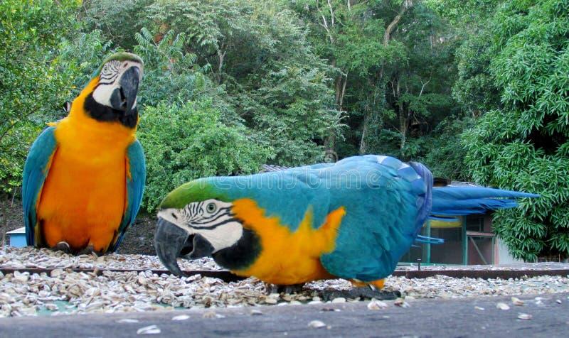 Perroquet bleu de Macaw images stock