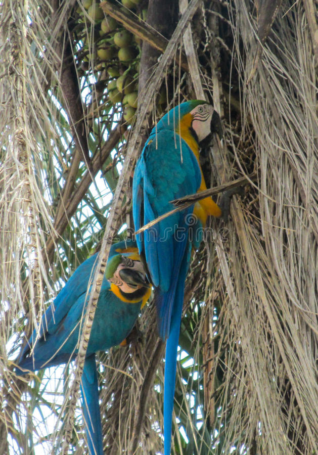 Perroquet bleu de Macaw photos stock