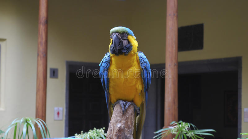 perroquet Bleu-et-jaune d'ara image libre de droits