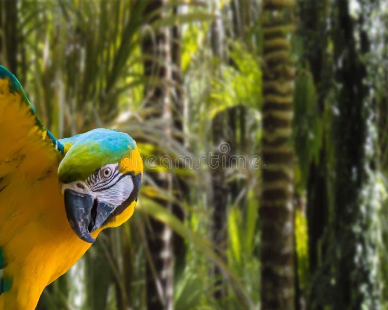 Perroquet bleu et jaune drôle d'ara d'isolement sur un fond tropical de forêt tropicale photographie stock libre de droits