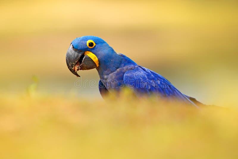 Perroquet bleu Grand perroquet bleu Hyacinth Macaw, hyacinthinus de portrait d'Anodorhynchus, avec la goutte de l'eau sur la fact photo stock