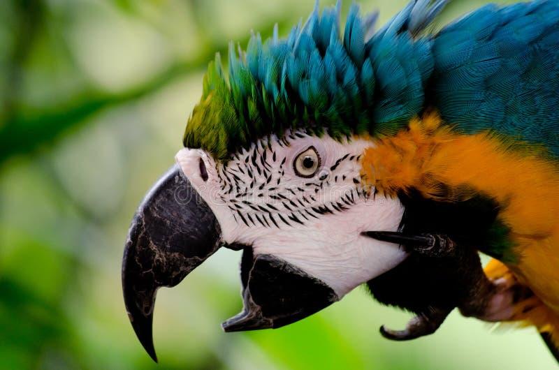 Perroquet choquant photo libre de droits