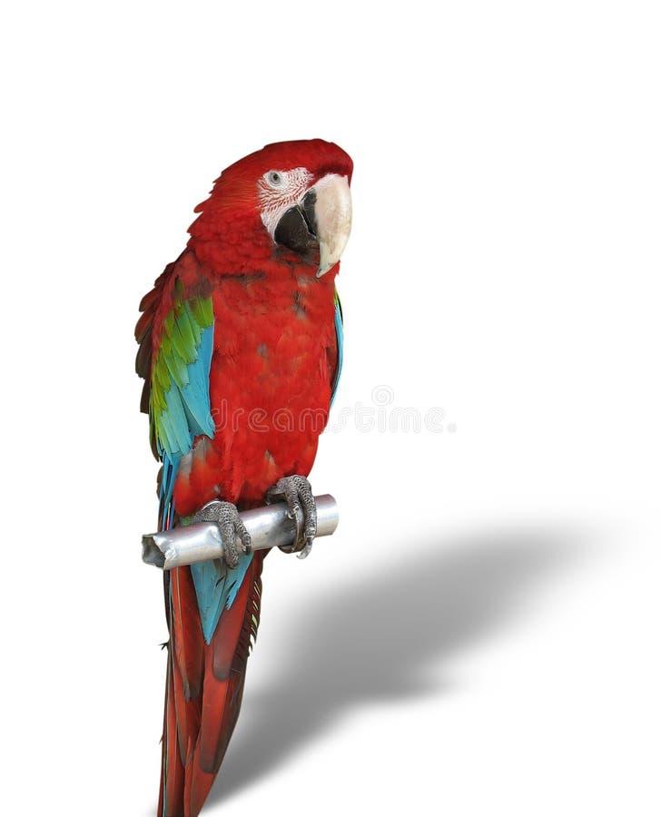 Perroquet coloré avec l'ombre d'isolement au-dessus du blanc photographie stock
