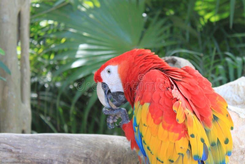 Perroquet coloré d'ara d'écarlate du Mexique photo libre de droits