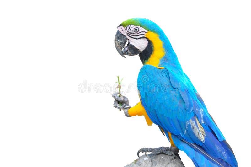 Perroquet coloré d'isolement photos libres de droits