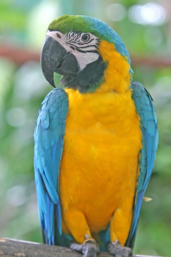 Perroquet coloré de Macaw image libre de droits