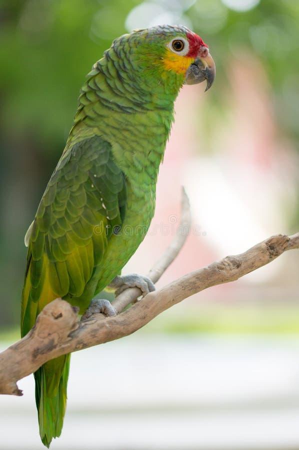 Perroquet Cucha dans un arbre photo libre de droits
