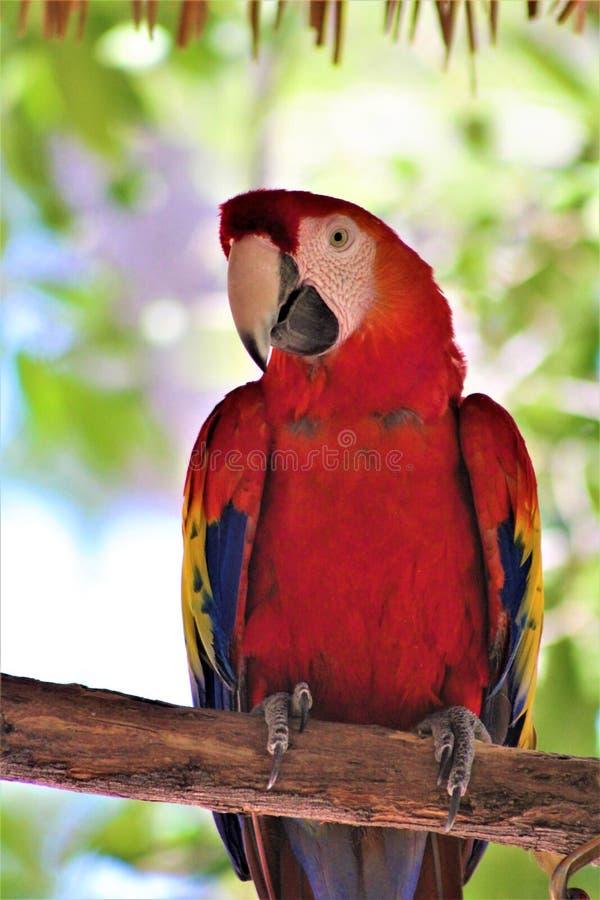 Perroquet d'ara d'écarlate au zoo de Phoenix, Phoenix, Arizona, Etats-Unis photographie stock libre de droits
