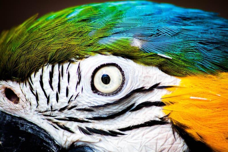 Perroquet d'ara images libres de droits