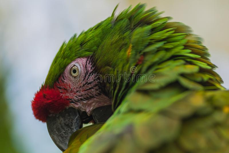 Perroquet d'ara de Gree photographie stock