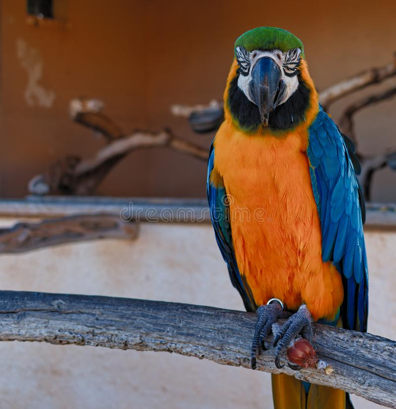 Perroquet d'ara se reposant avec des yeux fermés, parc naturel de millor de cala, Majorque, Espagne images stock