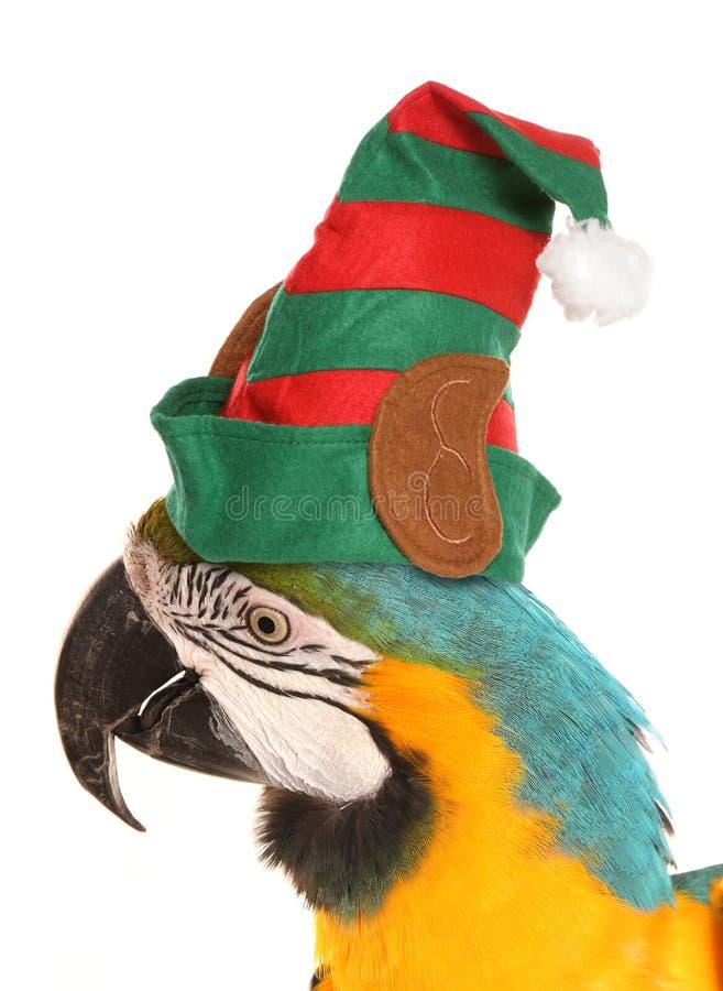 Perroquet d'ara utilisant un chapeau d'elfe de Noël photos libres de droits