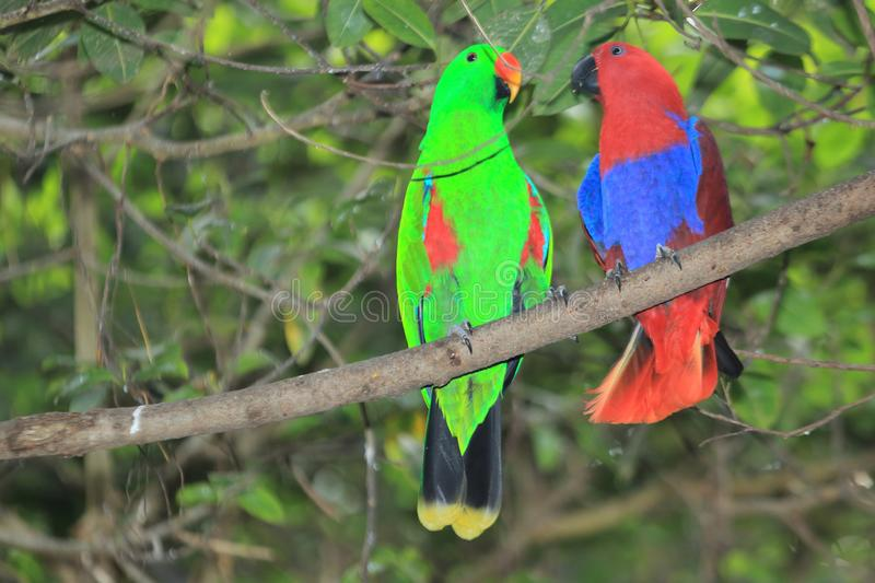 Perroquet d'Eclectus photos stock
