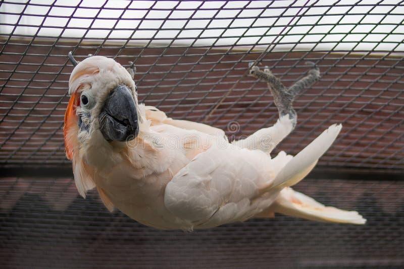 Perroquet dans un zoo russe photos libres de droits