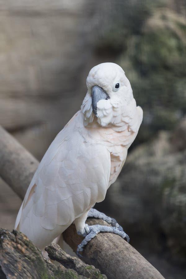 Perroquet de Cacatua sur sa perche image libre de droits