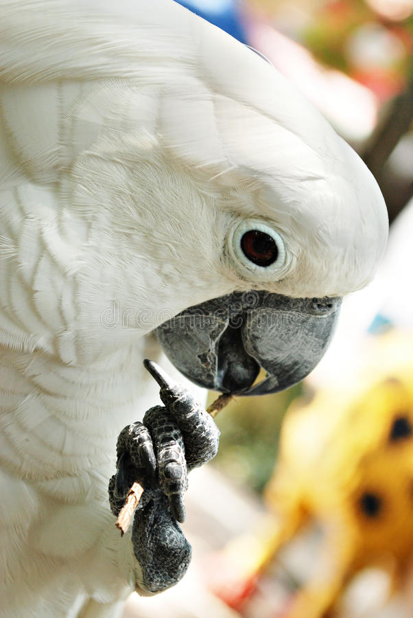 Perroquet de Cockatoo blanc photographie stock