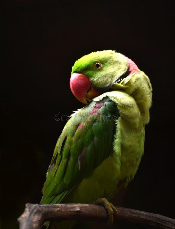 Perroquet de couleur verte à l'arrière-plan noir image libre de droits