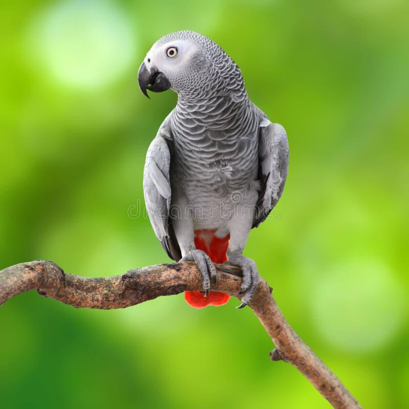 Perroquet de gris africain photographie stock