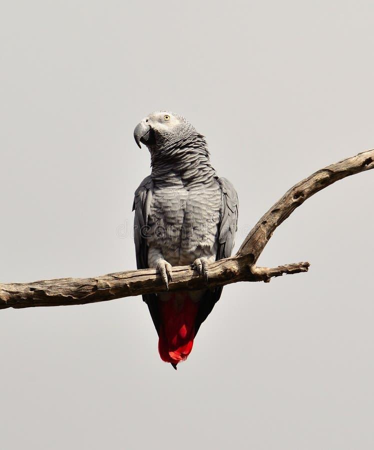 Perroquet de gris africain de queue rouge photo libre de droits