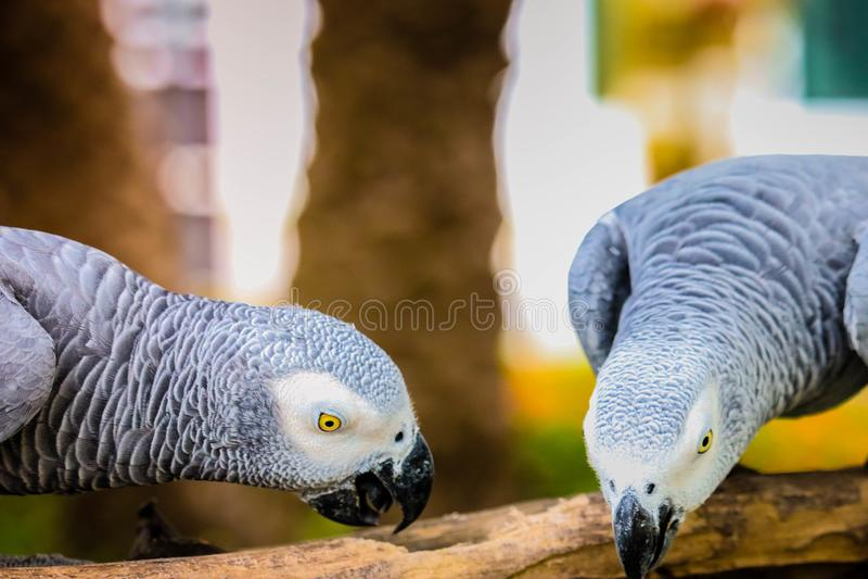 Perroquet de gris africain image stock