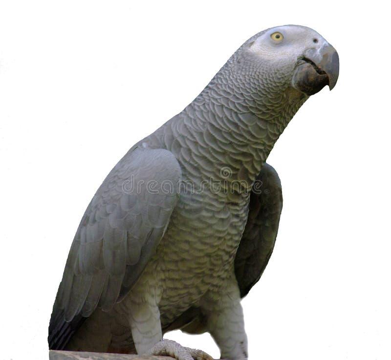 Perroquet de gris africain sur le fond blanc photos libres de droits