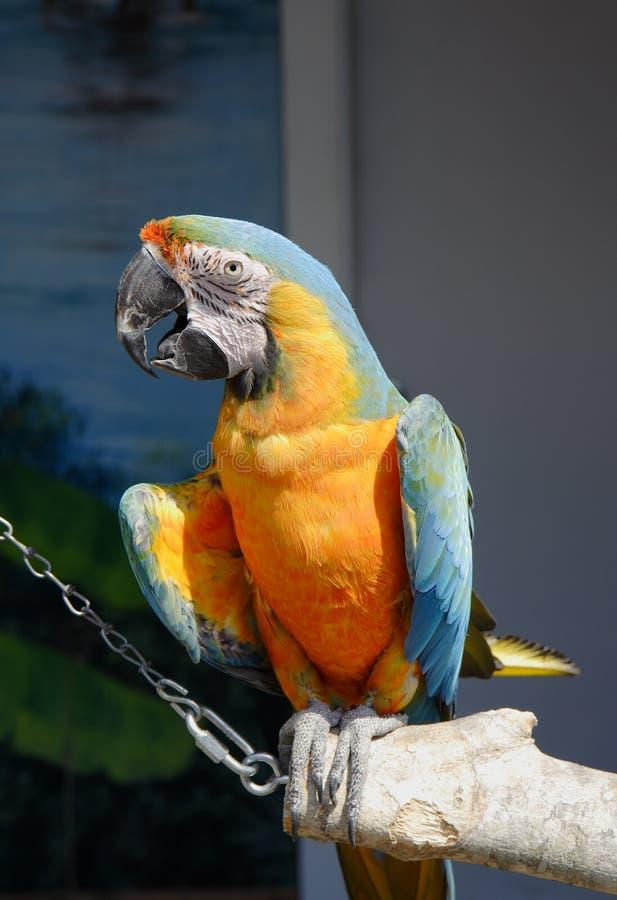 Perroquet de Macaw photo stock