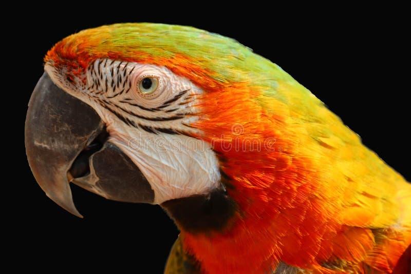 Perroquet de Macaw d'isolement image libre de droits