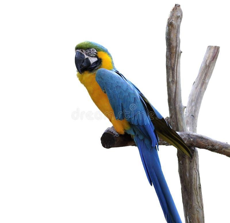 Perroquet de Macaw d'isolement sur le blanc image libre de droits